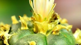 Peyotekaktus med blomman lager videofilmer