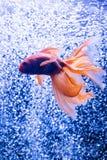 Pez de colores en un fondo de las burbujas de aire Fotografía de archivo libre de regalías