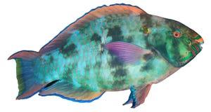 Pez papagayo Imagen de archivo libre de regalías