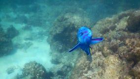 Pez papagayo azul imagenes de archivo