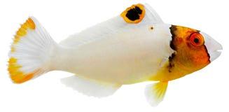 Pez papagayo bicolor Fotografía de archivo libre de regalías