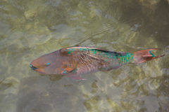 Pez papagayo del arco iris Foto de archivo