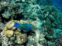 Pez papagayo del Bullethead en un filón coralino. Scarus Fotografía de archivo