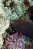 Pez papagayo en el Mar Rojo de. Fotos de archivo libres de regalías