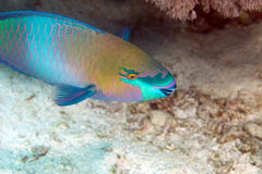 Pez papagayo en el Mar Rojo del de. Fotos de archivo libres de regalías