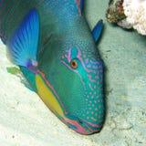 Pez papagayo exótico colorido de la margarita de los pescados en la parte inferior de tropical Imagen de archivo libre de regalías