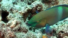 Pez papagayo oxidado Scarus Ferrugineus que come el Mar Rojo subacuático coralino almacen de video