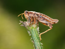 Pezotettix giornae, grasshopper. Dead from parasitic fungus. Stock Photo