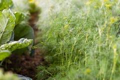 Pezzi di terra coltivati all'aneto nel giardino dell'agricoltore Fotografia Stock