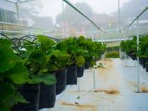 Pezzi di terra coltivati alla fragola dentro la serra Fotografia Stock Libera da Diritti