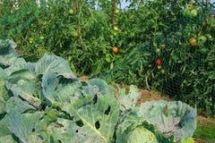 Pezzi di terra coltivati a il pomodoro ed il cavolo Fotografia Stock Libera da Diritti
