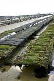 Pezzi di terra coltivati a ostrica Immagine Stock