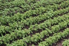 Pezzi di terra coltivati a verdi la patata diagonali Fotografia Stock Libera da Diritti