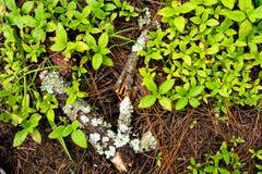 Pezzo del lichene di legno ammuffito Immagini Stock