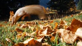 Pezzo dello scoiattolo di pane afferrante stock footage
