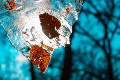 Pezzo di ghiaccio con le foglie gialle congelate con effetto del film dell'alzavola immagine stock libera da diritti