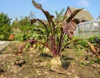 Pezzo di terra coltivato alla barbabietola sui precedenti di una casa di campagna Fotografia Stock