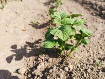 Pezzo di terra coltivato alla patata fotografie stock libere da diritti