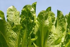 Pezzo di terra coltivato a l'insalata Immagine Stock