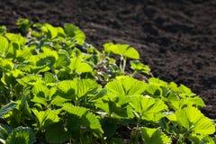 Pezzo di terra coltivato a la fragola di giardino Immagine Stock