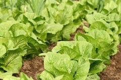 Pezzo di terra coltivato a la lattuga in serra Immagine Stock