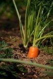 Pezzo di terra coltivato a rosso la carota fotografia stock