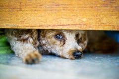 Pfützenhund Stockfotografie