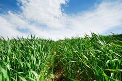Pfad durch Weizen stockbild