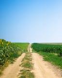 Pfad zwischen Mais und Sonnenblumefeldern Lizenzfreies Stockbild