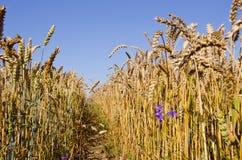 Pfad zwischen Weizen. Stockfotografie