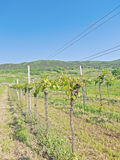 Pfaffstätten, temps de vignoble au printemps Image stock