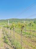Pfaffstätten tid för vingård på våren Fotografering för Bildbyråer