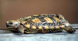 Pfannkuchenschildkröte stockfotos