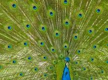 Pfau Lizenzfreies Stockfoto