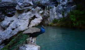 Pfau auf dem blauen See in Abchasien lizenzfreie stockfotos