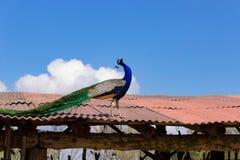 Pfau auf dem Dach Stockbild