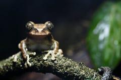 Pfau-Baum-Frosch Stockfotografie