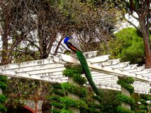 Pfau in Cecilio Rodriguez Garden, Retiro ParkMadrid Stockfotografie