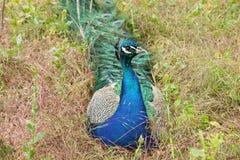 Pfau, der auf dem Gras sitzt Lizenzfreie Stockfotos