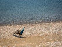 Pfau, der an Plaka-Strand geht Lizenzfreies Stockbild