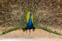 Pfau, der seine schönen Federn zeigt Lizenzfreies Stockfoto