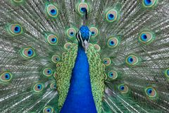 Pfau, der vibrierend farbige Federn und Gefieder anzeigt stockfoto