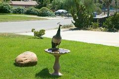 Pfau in der Vogeltränke in der Eichen-Ansicht, Kalifornien Lizenzfreie Stockbilder