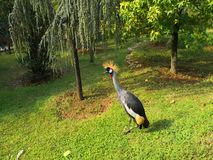 Pfau in Faruk Yalcin-Zoo in Istanbul 2 stockbild