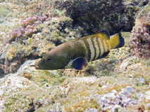Pfau Hinter im Korallenriff Stockfotos