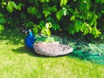 Pfau im Garten Lizenzfreies Stockbild
