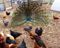 Pfau im Hühnerhof lizenzfreies stockfoto