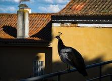 pfau lissabon portugal lizenzfreie stockfotografie
