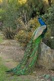 Pfau-männliche Vogel-Aufstellung Lizenzfreies Stockbild
