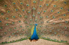 pfau Schließen Sie oben vom Pfau, der seine schönen Federn zeigt Stockfoto